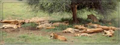 kampf zwischen löwe und büffel