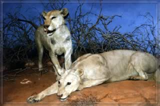The real lions of  Tsavo - on display at the Field Museum in Chicago